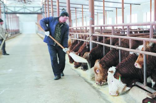 로투구진 수화농작물전문합작사 200여마리 연변소 사육