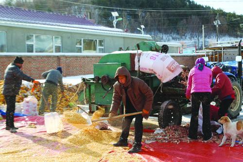 사수촌 옥수수 수확